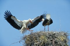 White storks nest in West Sussex