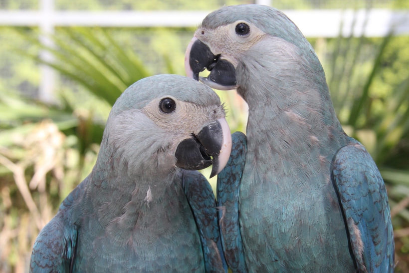 New contract brings lost macaw one step closer to reintroduction