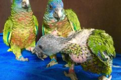 Parrot safety net made stronger with new arrivals