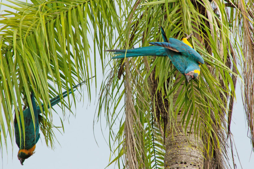 Record number of rare macaw chicks fledge