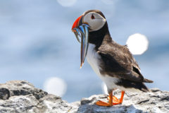 Rains drown hundreds  of pufflings in the Farnes