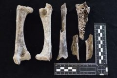 Bones found in ancient swamp reveal the ecosystem of the dodo