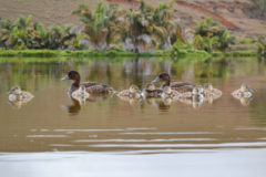 Remarkable step forward in 12 months to restore a rare pochard