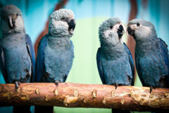 Spix's macaws arrive back in Brazil