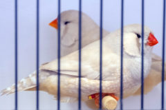 What makes a good exhibition zebra finch?