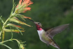 Hummingbirds' colour vision far exceeds ours