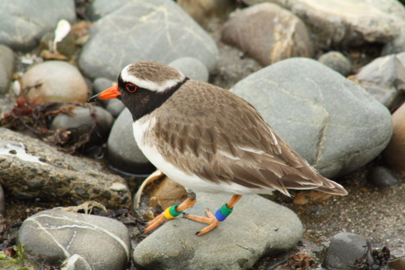 Endangered plover colony vanishes in New Zealand