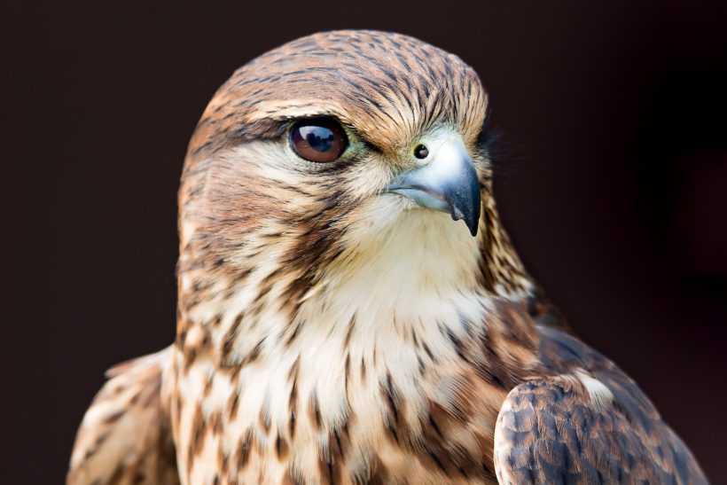 New housing development named after Gloucestershire merlin