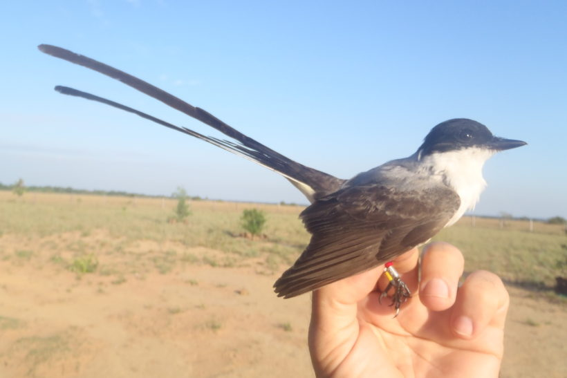 Flycatchers communicate differently with their feather sounds