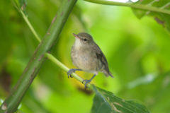 Young warblers fare better when old parents seek help