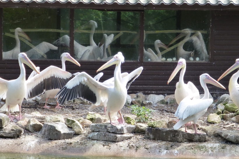 Social networking? Pelicans can