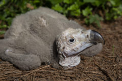 Rare vulture hatches in US